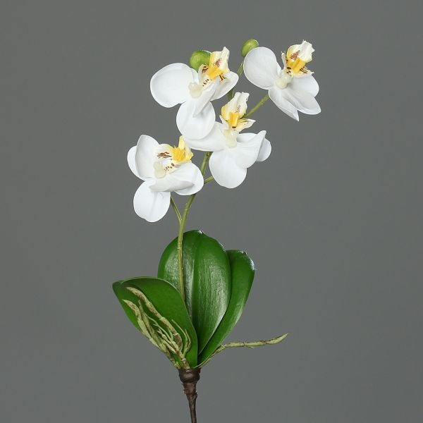 Mini Orchidee Phalaenopsis cream