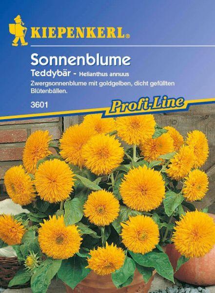 Kiepenkerl Sonnenblume Teddybär - Helianthus annuus